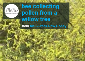 bee collecting pollen from a willow tree (video)